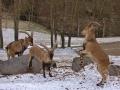 cabra salvatge2