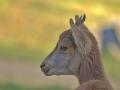 cabra salvatge5