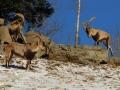 cabres salvatges