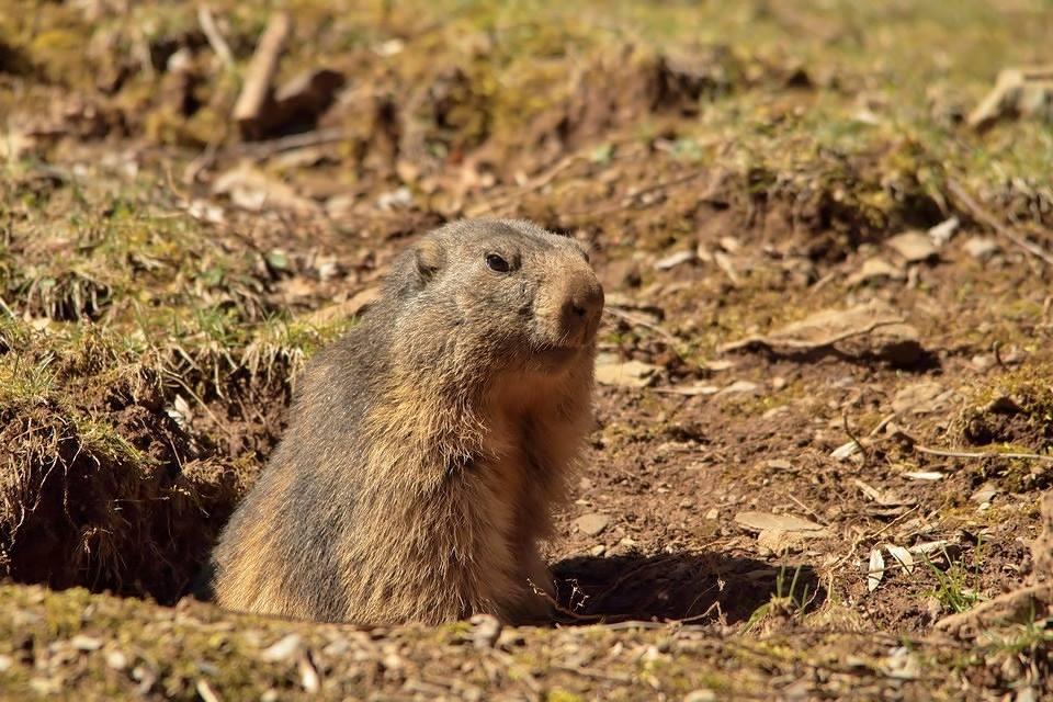 marmota1