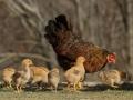 gallines i polls