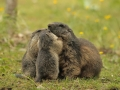 marmota mollo parc2