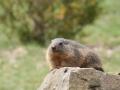 marmota10