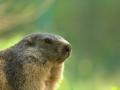 marmota3