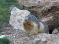 marmota4