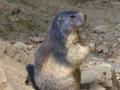 marmota5