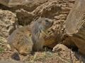 marmota7