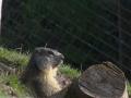 marmota8