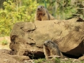marmotas mollo parc