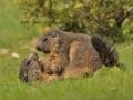 marmotes mollo parc