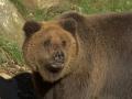 oso pardo mollo parc 10