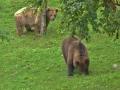 oso pardo mollo parc 11
