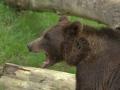 oso pardo mollo parc 13