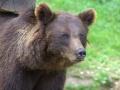 oso pardo mollo parc 14