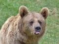 oso pardo mollo parc 16