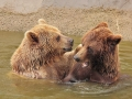 oso pardo mollo parc 18