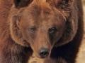 oso pardo mollo parc 5