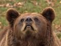 oso pardo mollo parc 8