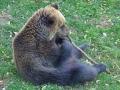 oso pardo mollo parc 9