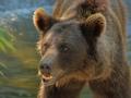 oso pardo1