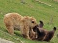 oso pardo2