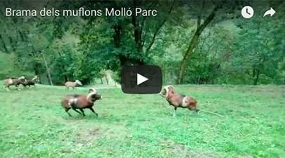 brama-muflons-mollo-parc